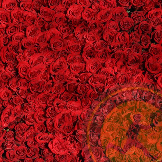 Mille rose rosse