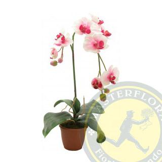 Phalaenopsis rosa o fucsia