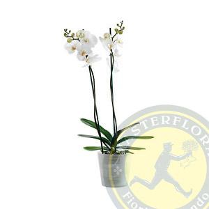 Pianta di orchidea  - Phalaenopsis bianco