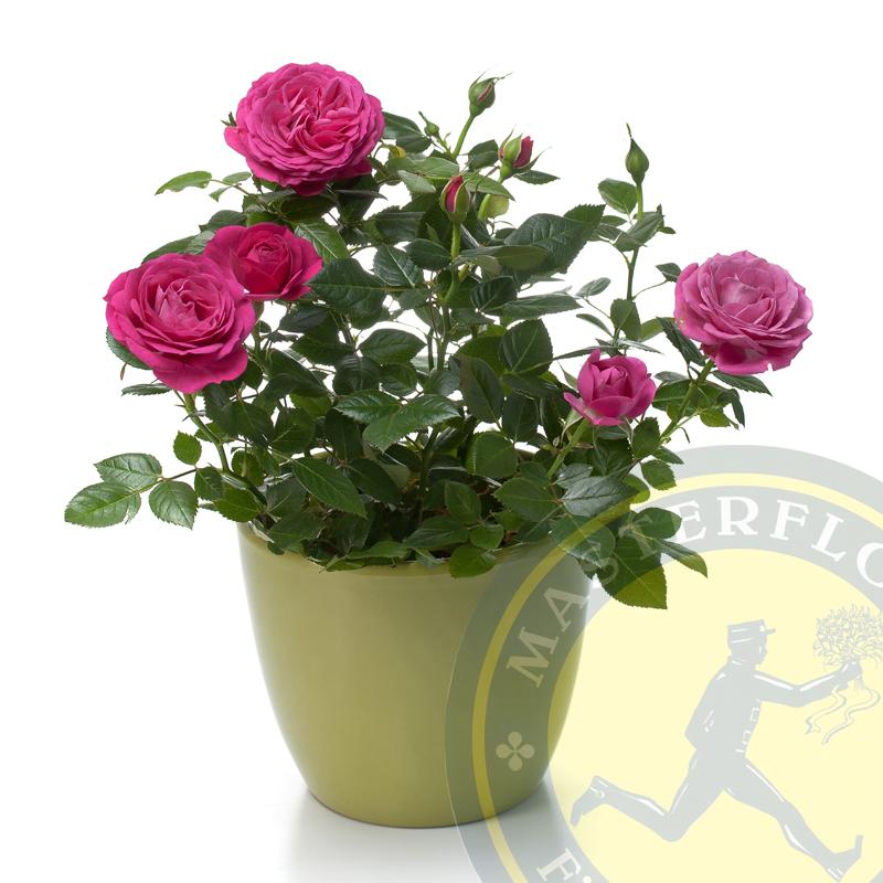 Roselline Rosa in vaso